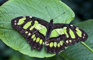 800px-Green_butterfly_on_green